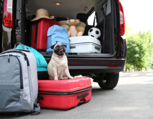 Pug dog by car